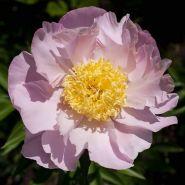 Пион Гарден Лейс (Paeonia Garden Lace)