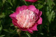 Пион молочноцветковый Гей Пари (Paeonia lactiflora Gay Paree)