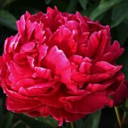 Пион молочноцветковый Карл Розенфилд (Paeonia lactiflora Karl Rosenfield)
