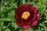 Пион Рэд Глори (Paeonia hybrida Red Glory)