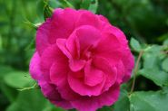 Роза канадская Капитан Самуэль Холланд (Rose Canadian Captain Samuel Holland)