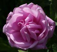 Роза канадская Васагейминг (Rose Canadian Wasagaming)