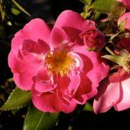 Роза канадская Уильям Баффин (Rose Canadian William Baffin)