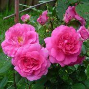 Роза канадская Морден Сентенниал (Rose Canadian Morden Centennial)