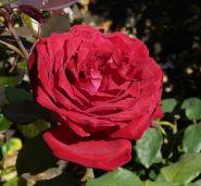 Роза чайно-гибридная Ботеро (Rose hybrid tea Botero)