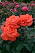 Роза чайно-гибридная Лаура (Rose hybrid tea Laura)