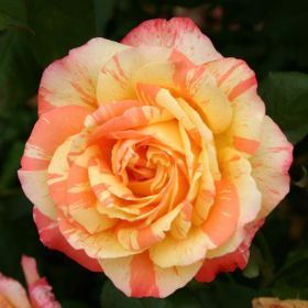 Роза чайно-гибридная Марвел (Rose hybrid tea Marvelle)