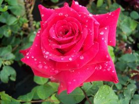 Роза чайно-гибридная Нэшнл Траст (Rose hybrid tea National Trust)