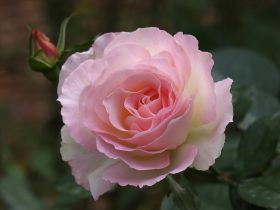 Роза флорибунда Шарль Азнавур (Rose floribunda Charles Aznavour)