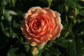 Роза флорибунда Гейша (Rose floribunda Geisha)