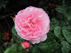Роза флорибунда Мария Тереза (Rose floribunda Mariatheresia)