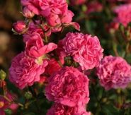 Роза флорибунда Пепита (Rose floribunda Pepitа)