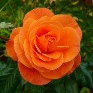 Роза флорибунда Супер Трупер (Rose floribunda Super Trouper)