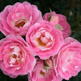 Роза миниатюрная Флирт (Rose miniature Flirt)