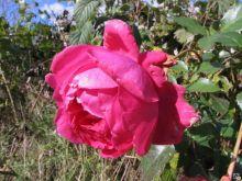 Роза плетистая Декор (Rose climbing Decor)
