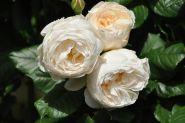 Роза плетистая  Ютерсенер Клостеррозе (Rose climbing Uetersener Klosterrose)