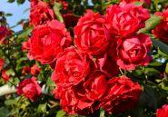 Роза почвопокровная Скарлет (Rose groundcover Scarlet)