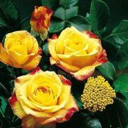 Роза грандифлорa Генриетта (Rose grandiflora Henrietta)
