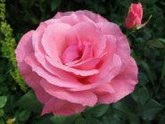 Роза грандифлорa Куин Элизабет (Rose grandiflora The Queen Elizabeth)