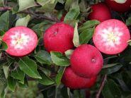 Яблоня традиционная Ред Пэшн (Malus Red Passion)