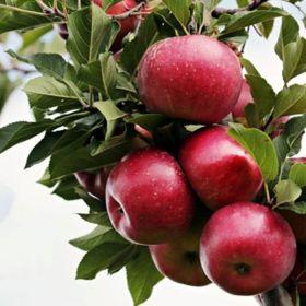 Яблоня традиционная Брусничное