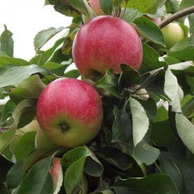 Яблоня традиционная Сокол Ясный