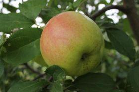 Яблоня традиционная Брянское Золотистое