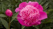 Пион молочноцветковый Букет Перфект (Paeonia lactiflora Bouquet Perfect)