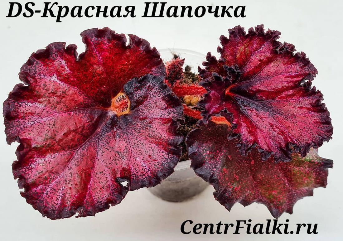 Бегония DS-Красная Шапочка (Е. Еникеева)