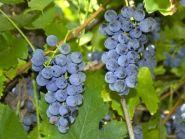 Виноград Фиолетовый ранний