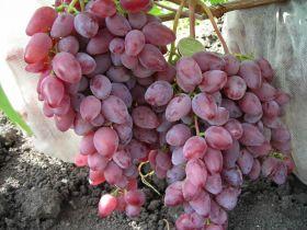 Виноград Розовый Аметист