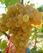 Виноград кишмиш Белое Пламя