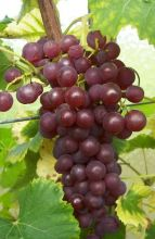 Виноград кишмиш Калина