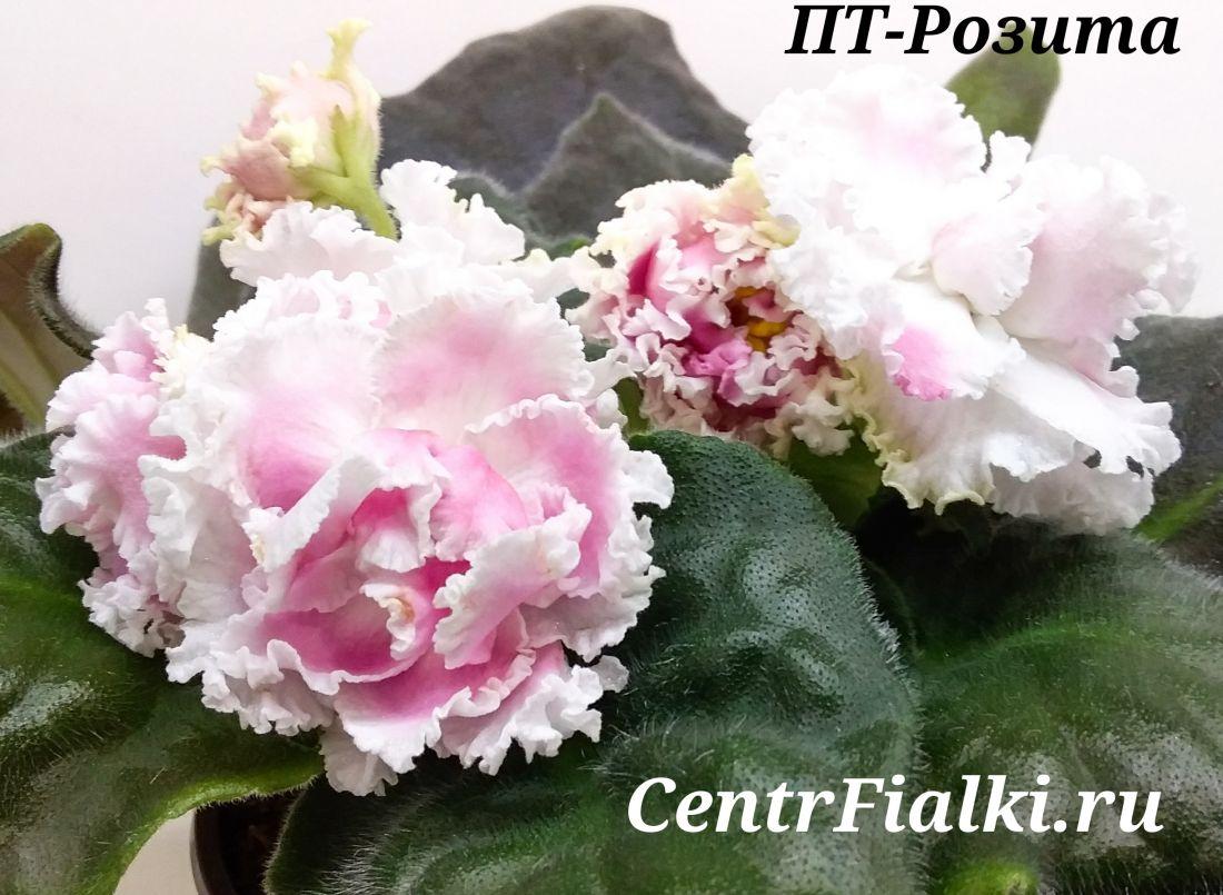 ПТ-Розита (Т.Пугачёва)