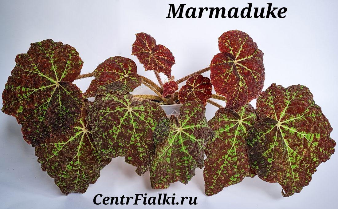 Бегония Marmaduke