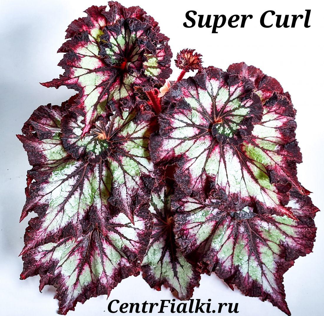 Бегония Super Curl