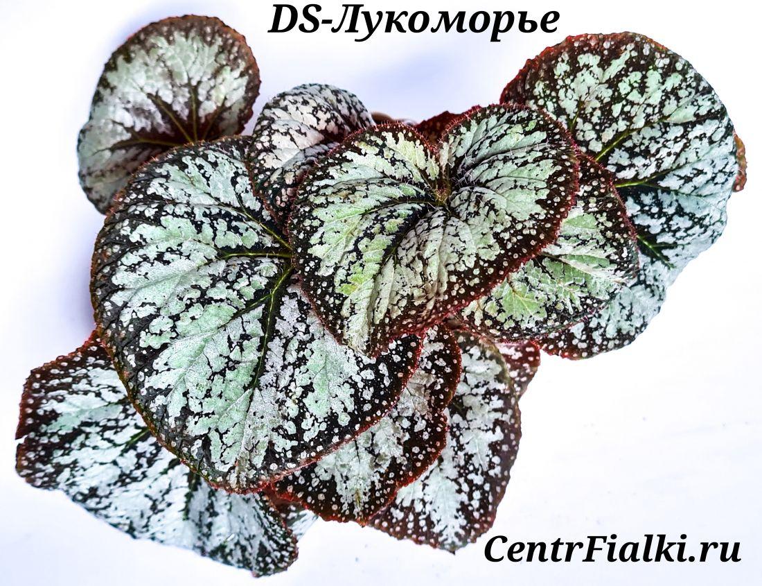 Бегония DS-Лукоморье  (Е. Еникеева)