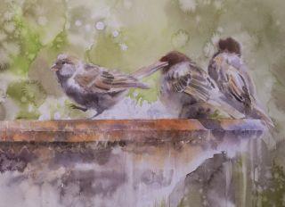 Postcard Sparrows