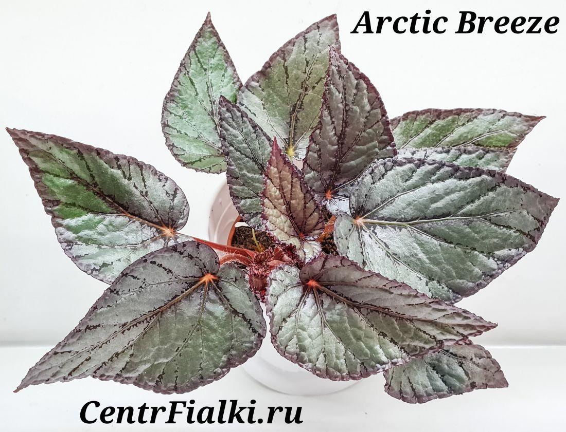 Бегония Arctic Breeze
