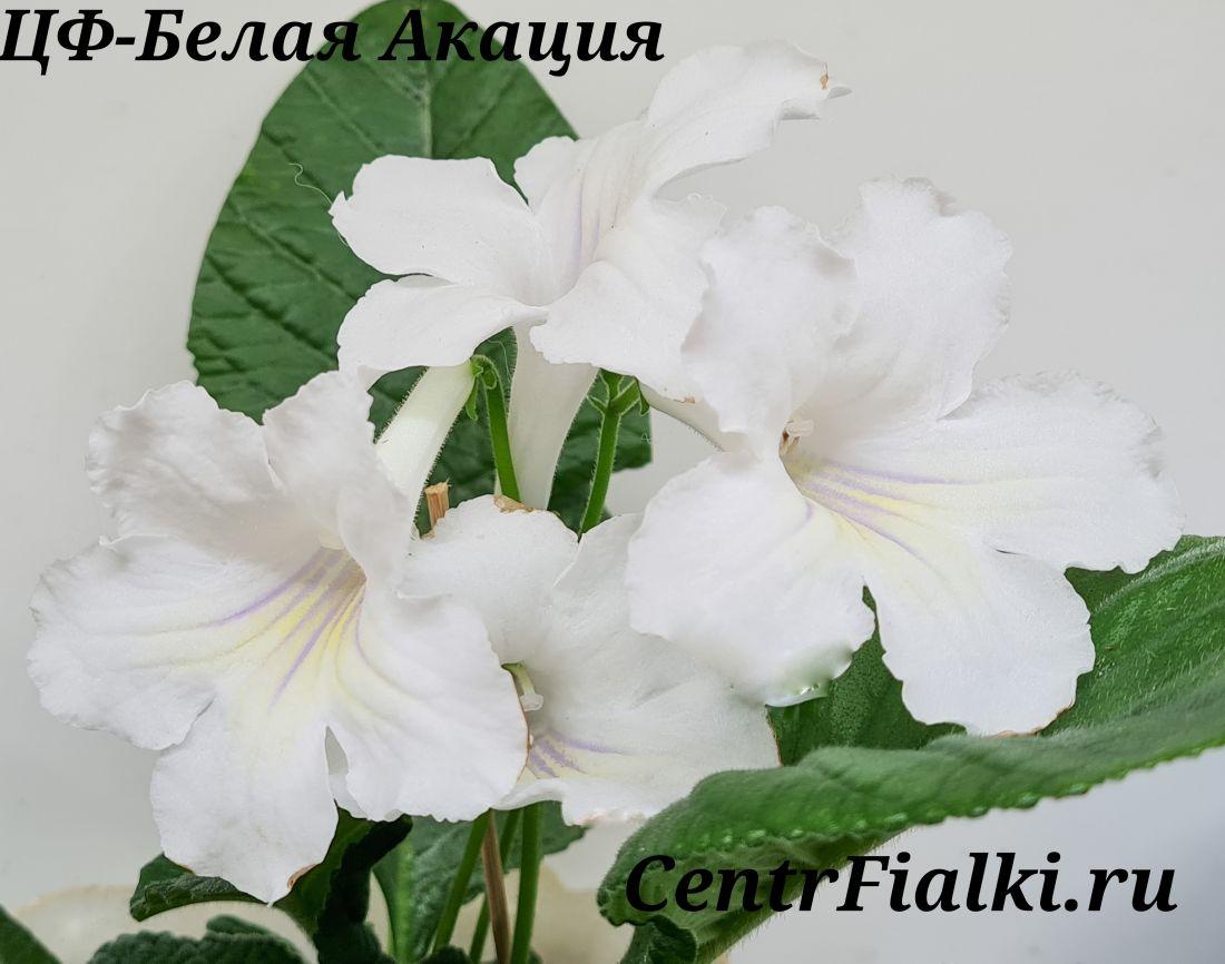 ЦФ-Белая Акация (Центр Фиалки)