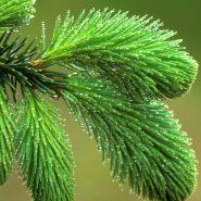 Отдушка «Хвойный лес »