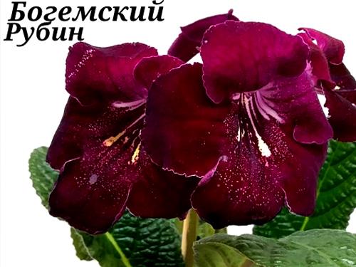 Богемский Рубин (Ю. Парамонова/ Г. Парамонова)