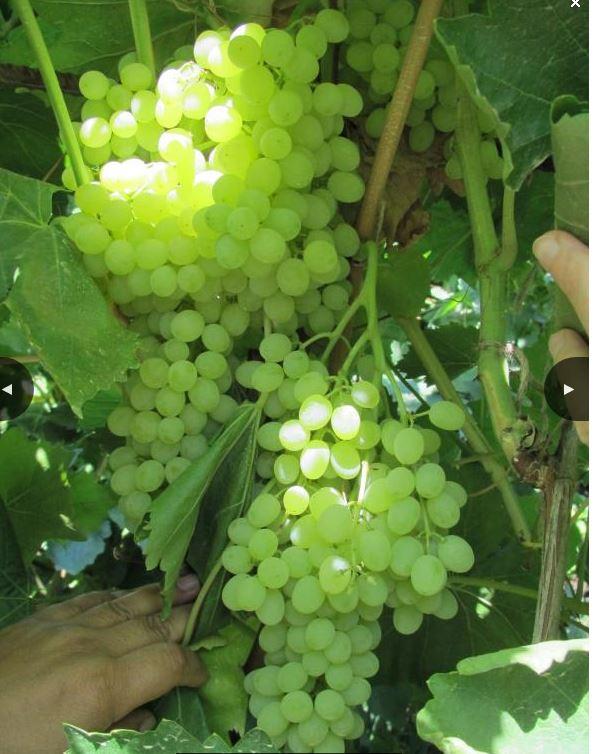 Виноград Султанина(кишмиш)